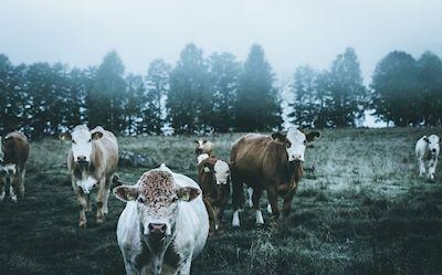 Valkyria Ulvdottir - Landsbygd, cows on field, photograph
