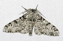 Peppered moth evolution - Wikipedia, the free encyclopedia