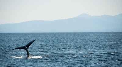 Che cosa significa sognare una balena Cosa significa e qual'è l'interpretazione dietro al sognare balene? Questa immagine rara e affascina sogni balena sognare mammiferi