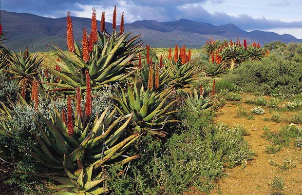 Aloes - Karoo South Africa