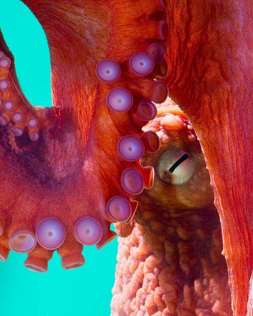 tentacles - cephalopodsgonewild: by George Grall via National Aquarium #octopus #orange #sealife