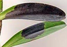 Paixão por orquídeas - Meu orquidário: Pragas e doenças que atacam as orquídeas: Podridão Negra