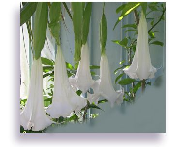 This site has the best trumpet vine growing guidance! Supernova has MONSTER SIZED blooms