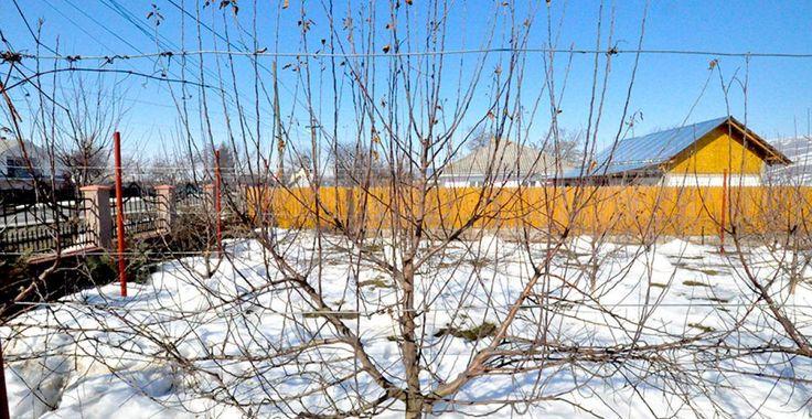 Cum se fac tăierile la o palmetă de măr, de 4 ani | Paradis Verde