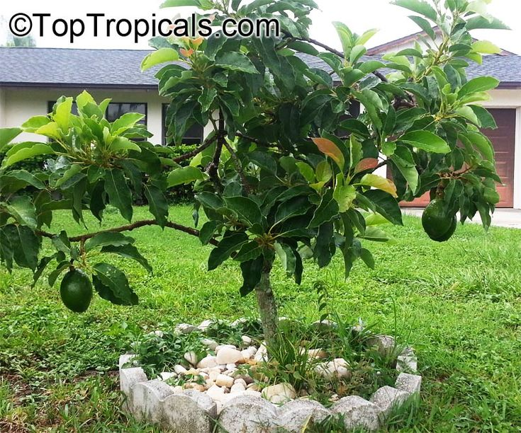 165 Best Pictures Of Avocado Trees And Plants Images On