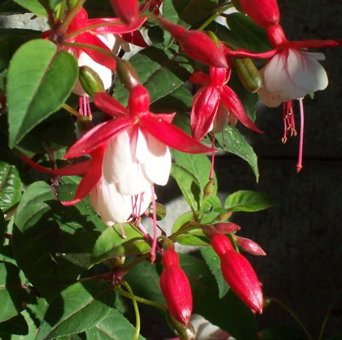 Balkónové květiny, pěstování, péče, květiny, rostliny, bylinky, koření, trvalky, letničky, pokojové květiny - balkonovekvetiny.cz