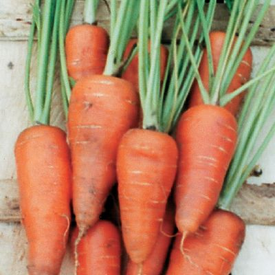 CARROT Chantenay (The Organic Gardening Catalogue)