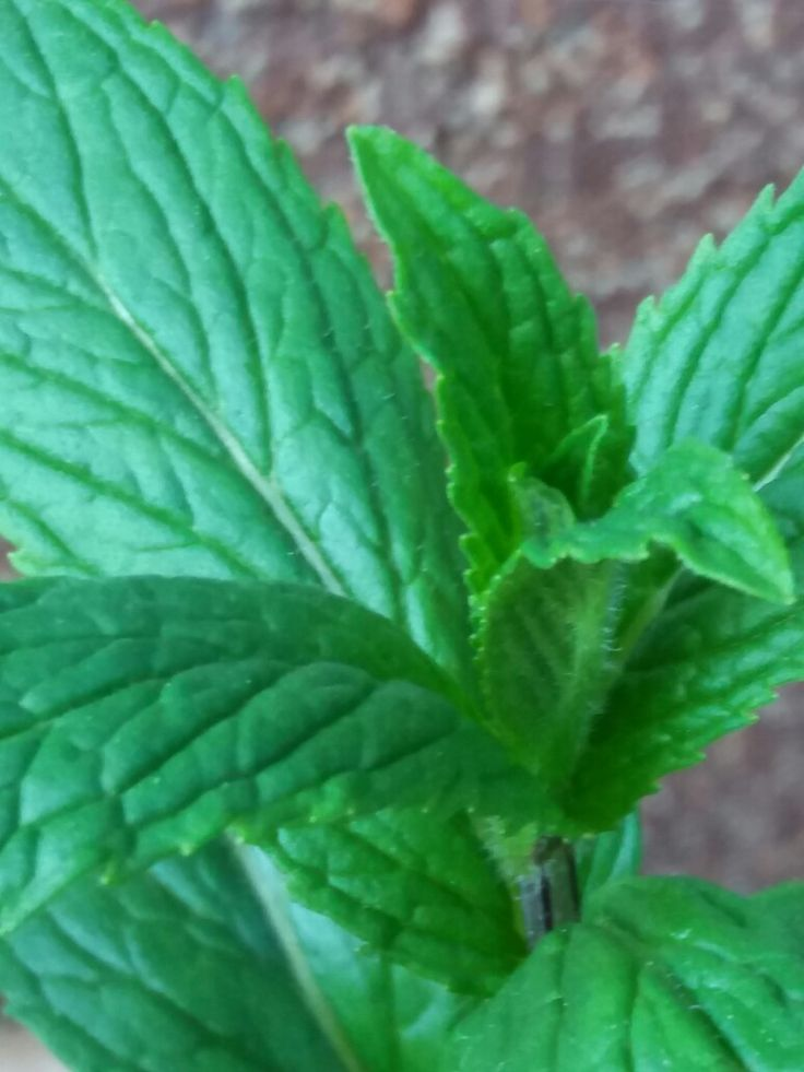 Název - Máta peprná ( Mentha piperita ) Místo focení - Naše zahrada
