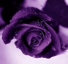 Purple Rose...My Favorite Rose
