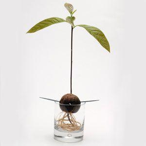 Buenos días amigos! Hoy en Decoración y Jardines queremos hablarles de como plantar aguacates. Si quieres tener tus propios aguacates, hoy te dejamos lo que tienes que hacer básicamente para que salgan fuertes, sanos y estupendos. Para comenzar hemos de tener algunas semillas de aguacate maduro. U