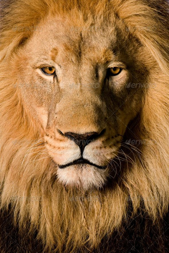 8k Animal Wallpaper Download: Close-up On A Lion's Head (4 And A Half Years)