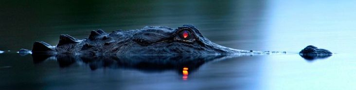 an alligator has a tapetum lucidum at the back of each eye, which reflects light back into the photoreceptor cells to make the most of low light. the colour of eyeshine differs from species to species, but in alligators glows red.