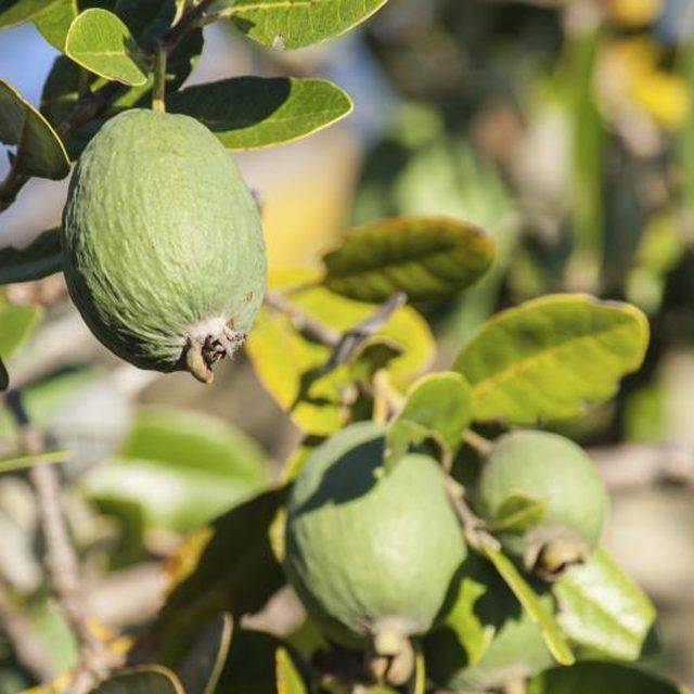 más de 25 ideas increíbles sobre guava fruit tree en pinterest