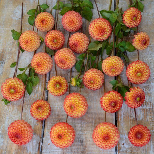 Dahlia Kasagari Suprising Orange Pompon Dahlia Ideal One For Your Garden It Keeps On Flowering Buy Some Tubers A Flower Farm Dahlia Flower Beautiful Flowers