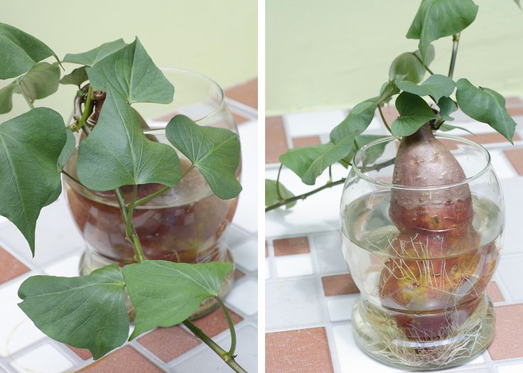 Cultivo de batata-doce em água | Cantinho da BBel