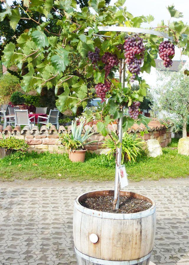 Pflanztipps für Rebstöcke, leckere, eigene Tafeltrauben