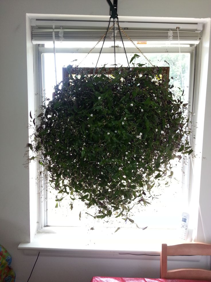 My Bridal Veil plant, part of the Wandering Jew family, this plant is beautiful and full.  Grows out of control if not given a hair cut every so often.  Easy to propagate if you want more plants.
