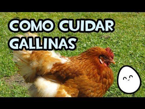 Como cuidar gallinas | Consejos