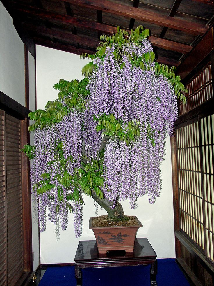 32 best wisteria in a pot images on pinterest bonsai - Bonsai zimmerpflanze ...