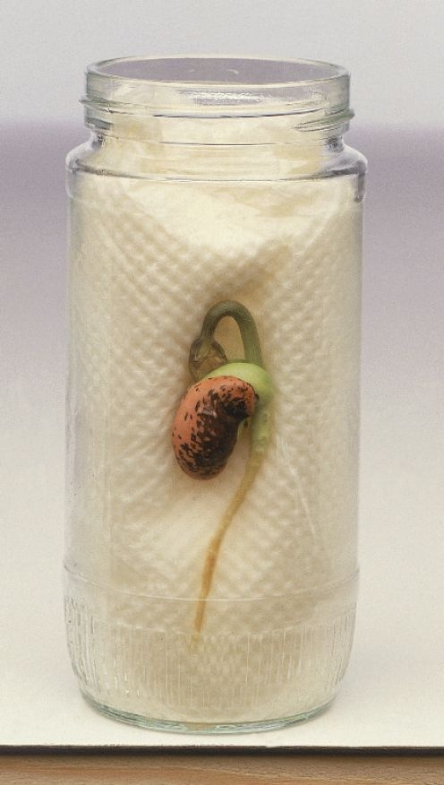 growing beans on kitchen roll (or blotting paper at school).