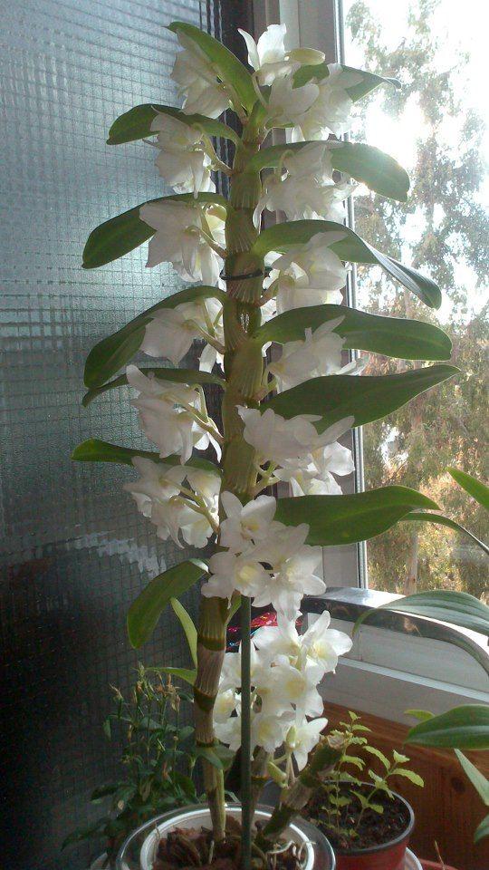 Diferencia entre floracion de dendro phalaenopsis y dendrobium nobile. En las nobile las flores no salen de una vara floral, sino a lo largo de las cañas.