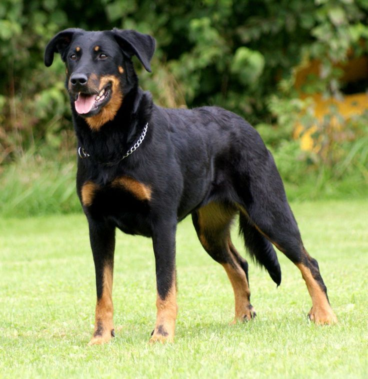 1000+ images about Beauceron *.* on Pinterest