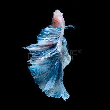 Ikan Cupang Quotes