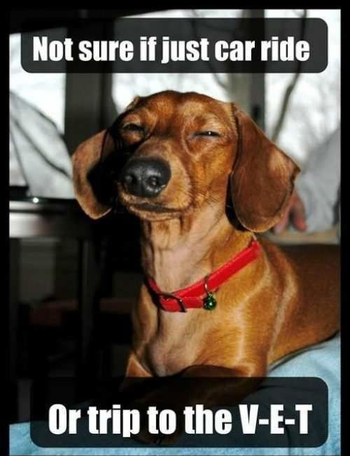 Not sure if car ride...  #funny #humor #lol #meme #futuramaAnimal Rescue, Animal Pictures, Weenie Dogs, Dogs Memes, Weinerdogs, Cars Riding, Weiner Dogs, Wiener Dogs, Little Dogs