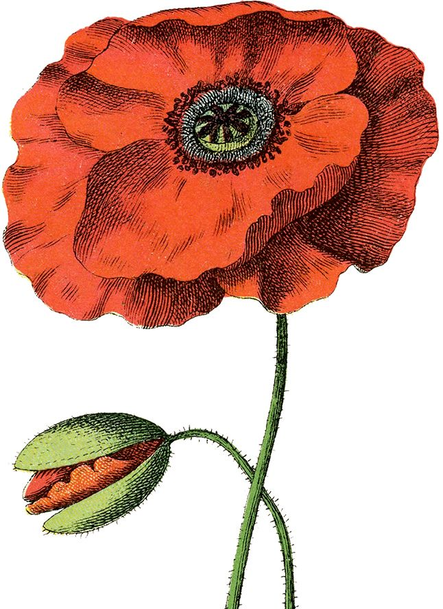 This is a gorgeous Free Red Poppy Image!! Featured here is a very pretty picture of a Poppy Plant, with a bright red bloom and another bud just getting ready to open!