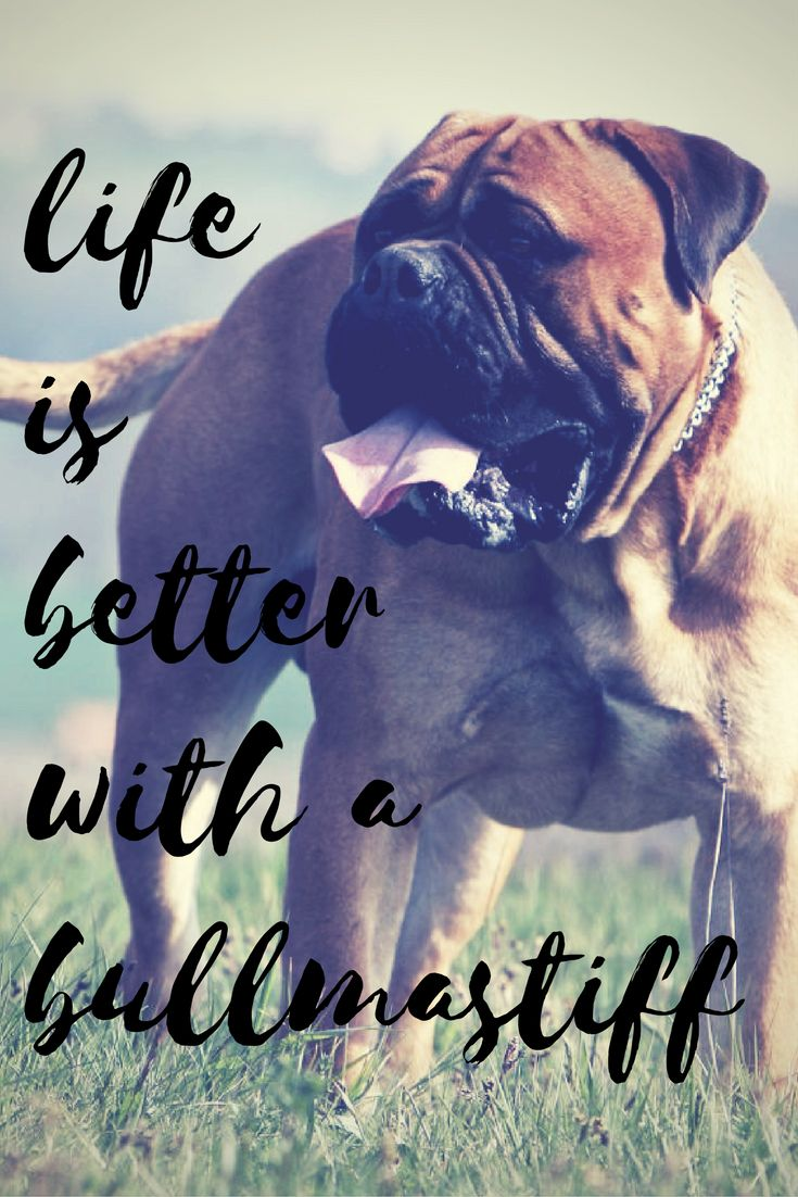 See more at https://mypupboutique.com/collections/bullmastiff  #Bullmastiff