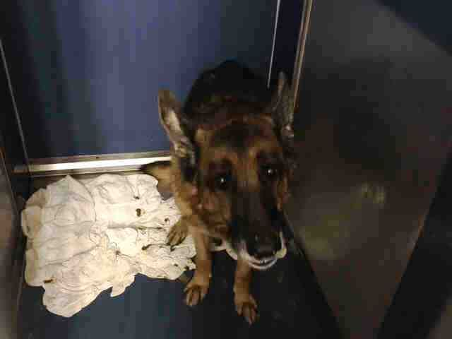 SUPER URGENT Manhattan Center MACK – A1093222 MALE, BROWN / BLACK, GERM SHEPHERD MIX, 9 yrs STRAY – PRE RTO, HOLD FOR RTO Reason STRAY Intake condition UNSPECIFIE Intake Date 10/12/2016, From NY 10024, DueOut Date10/13/2016