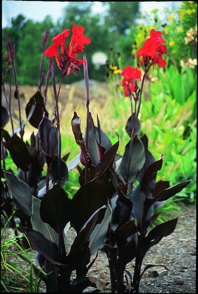 1000 ideas about canna lily on pinterest tropical plants lilies and bulbs. Black Bedroom Furniture Sets. Home Design Ideas