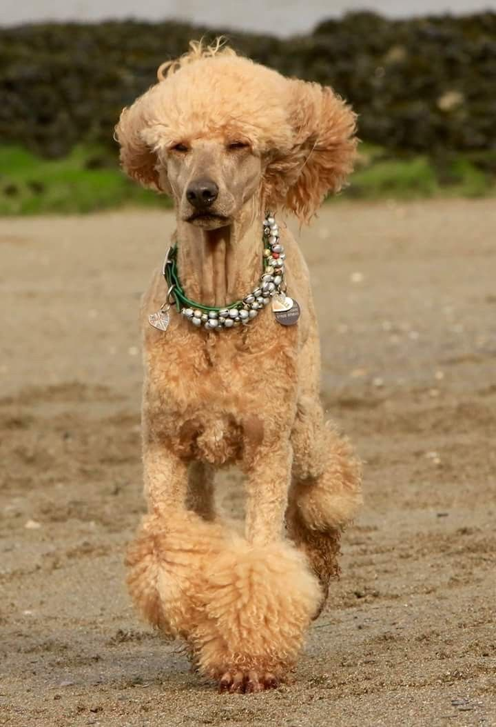 Love The Bling On This Pretty Standard Poodle Brown Color Poodle