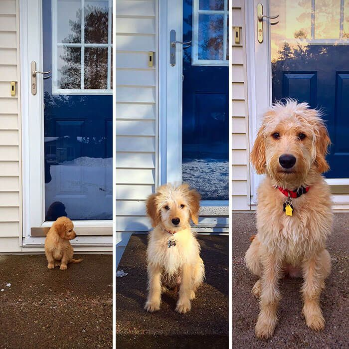 30 Hilarious Photos Of Goldendoodles Will Make You Want To Adopt