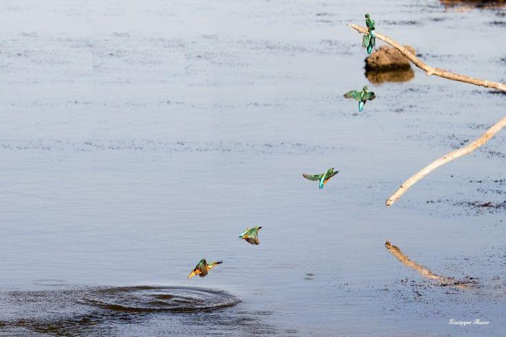 Proiettili variopinti e spettacolari, i martin pescatori colorano con il loro volo l'oasi dei Variconi, una riserva naturale e area protetta che