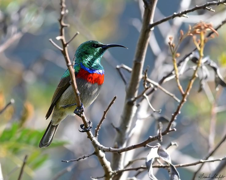 September 10, 2016, Botanical Gardens, Cape Town, South Africa. The Southern Double-collared Sunbird (Cinnyris chalybeus), also called the Lesser Double-collared Sunbird is endemic to South Africa. Sunbirds belong to the Nectariniidae family because like hummingbirds they feed on the nectar of flowers. There are no hummingbirds in Africa but these warbler-like birds with curved beaks fill the same ecological niche.
