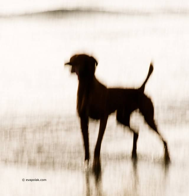 impressionist image of a dog by Eva Polak