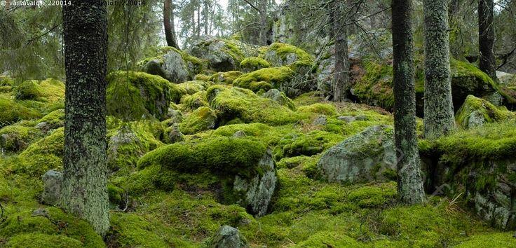 Kivinen kuusimetsä - kuusi puu havupuu kuusikko metsä havumetsä vanha synkkä vihreä kallio kivi kivikko kivinen lohkare rinne sammal sammaleinen