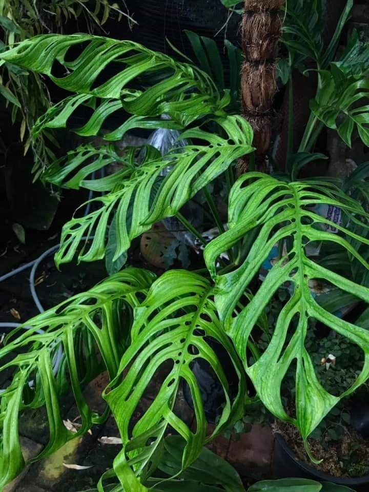Monstera Epipremnoides Exotische Pflanzen Pflanzen Seltsame Pflanzen