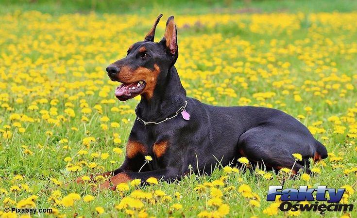 Szukamy sadysty katującego psa #Oświęcim #doberman #znęcanie #sadysta #zwyrodnialec #Animals