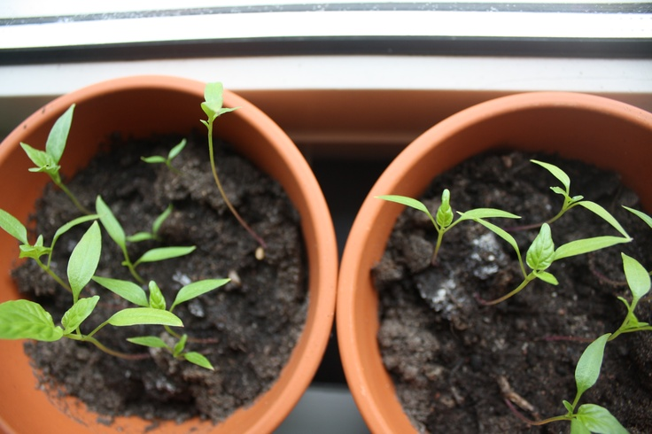 Trying to grow some chilipeppers
