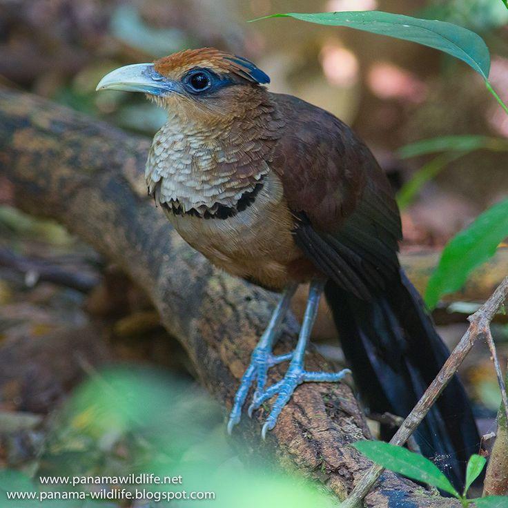 Rufous-vented Ground Cuckoo (Neomorphus geoffroyi)