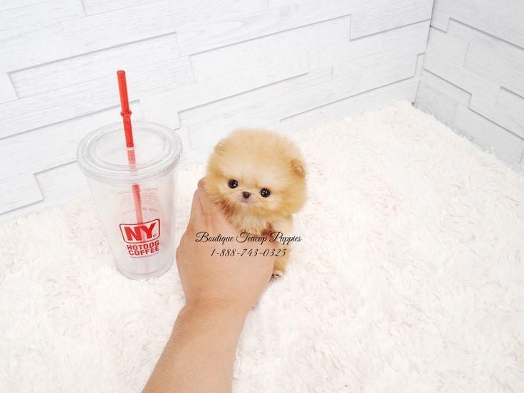16 Best Boutique Teacup Puppies Images On Pinterest