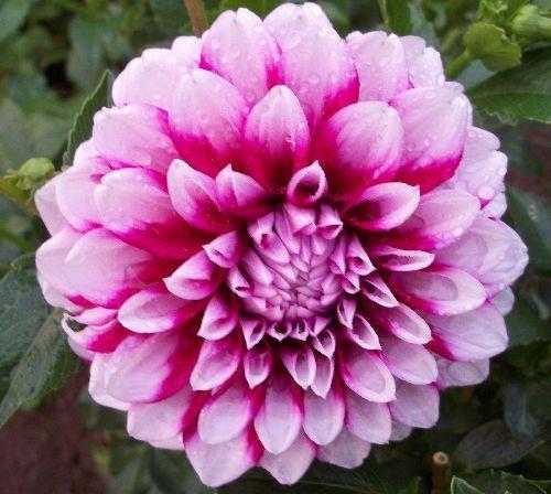 Aitara Diadem This Bi Color Dahlia Is A Beautiful Purple With White Tips That Twoflower Nameotic