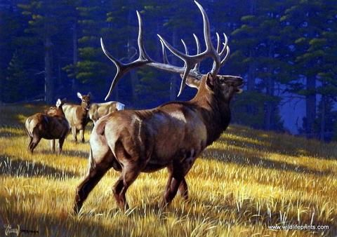 In Autumn Ritual, Al Agnew has painted a scene where a magnificent bull elk bugles during rut season. An elk will bugle to attract females and to warn off other males who venture into their territory.