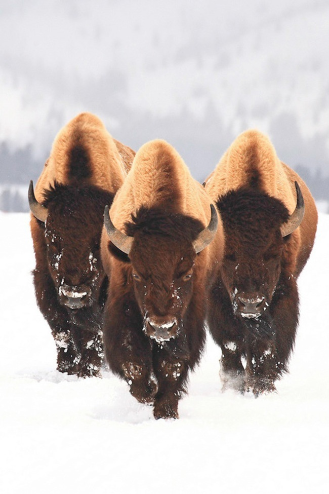Saw a lot of buffalo in Yellowstone. I was actually 5 feet from one. I was walking and around the bend in the road he stood!  There we were, practically face to face! Way, way too close! If he would have gotten mad, I would have been in trouble!  But it was amazing experience.