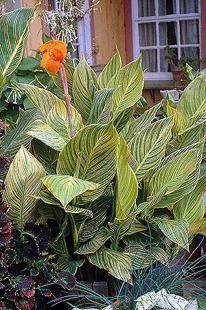 55 best Tropicanna cannas images on Pinterest | Backyard ...