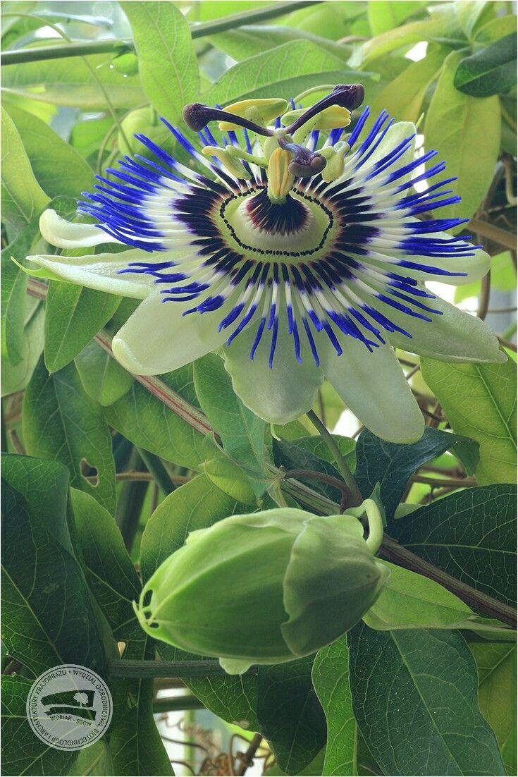 #męczennica, passiflora - nazwa pochodzi od słów passio (cierpienie) i flos (kwiat) hiszpańscy misjonarze dopatrywali się w kwiecie narzędzi męki #męczennicowate #roślinaOzdobna #jadalneOwoce #roślinaLecznicza #wielkanoc #wiosna #WOBiAK #SGGW ✝ #Passiflora #passionFlowers - names refers to the passion of Jesus because Spanish missionaries associated the flowers elements with tools of torment #Passifloraceae #ornamentalplant #edibleFruit #medicinalPlant #easter #spring #WULS