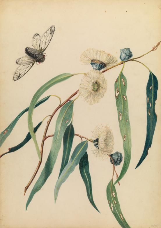 Louisa Anne Meredith,  Study for gum-flowers and 'love' 1850, watercolour, National Gallery of Victoria, Melbourne, Presented through The Art Foundation of Victoria by Mrs James Evans, Governor, 1989.
