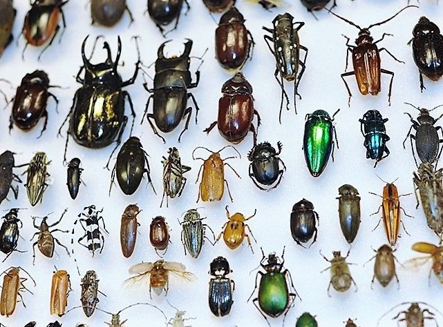 Mixed Lot Of Assorted Real Beetles And Bugs For Sale Bicbugs In 2020 Beetle Bug Bugs And Insects Beetle Insect